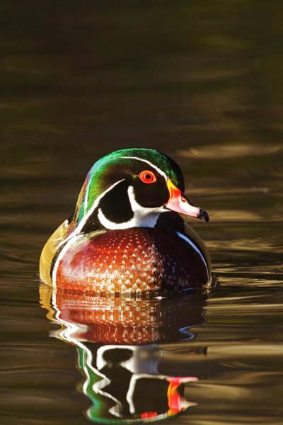 Photograph - Last Light Wood Duck by Mark Miller
