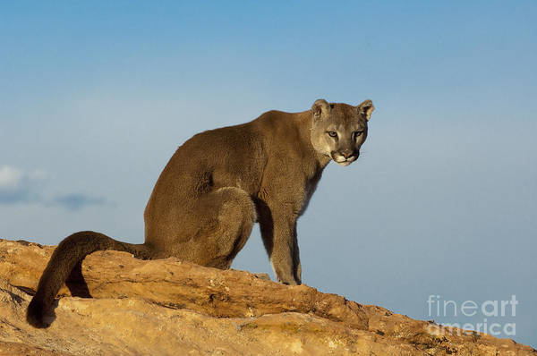 Catamount Photograph - Late Afternoon Foray by Sandra Bronstein