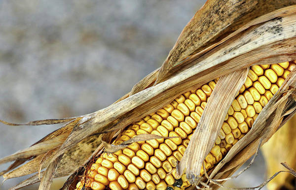 Photograph - Late Autumn Maize by Cate Franklyn