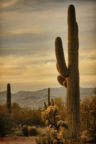 Photograph - Late Light 0n Saguaro Bz by Theo O'Connor