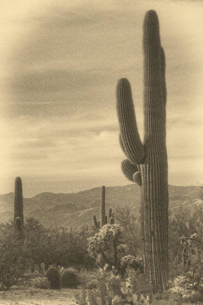 Photograph - Late Light On Saguaro Ant by Theo O'Connor