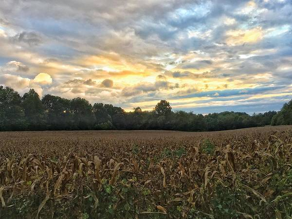 Photograph - Late Summer Corn by Chris Berrier