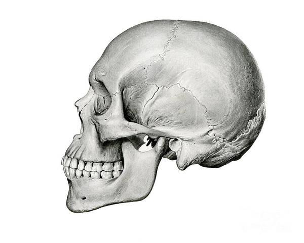 Lateral View Of Human Skull Art Print