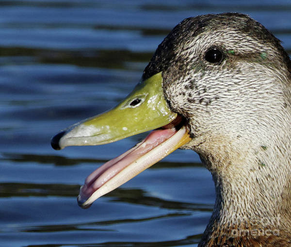 Photograph - Laughing Duck by Sue Harper