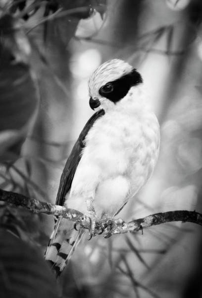 Photograph - Laughing Falcon Costa Rica Bw by Joan Carroll