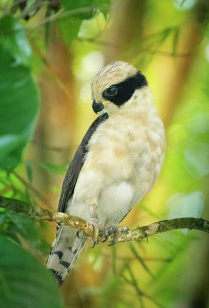Photograph - Laughing Falcon Costa Rica by Joan Carroll