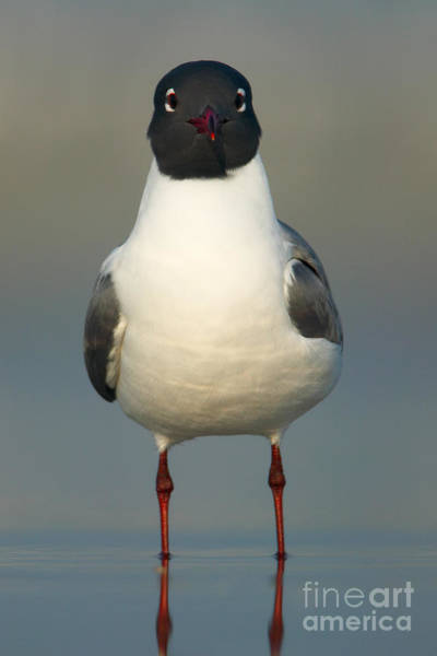 Photograph - Laughing Gull by Clarence Holmes