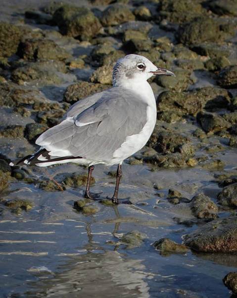 Photograph - Laughing Gull by Dawn Currie
