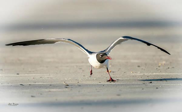 Photograph - Laughing Gull Take-off by Judi Dressler