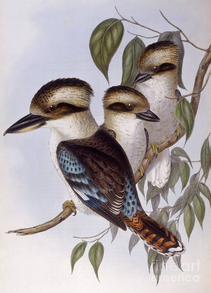 Zoology Painting - Laughing Kookaburra by John Gould