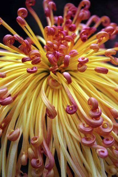 Photograph - Lava Chrysanthemum II by Jessica Jenney