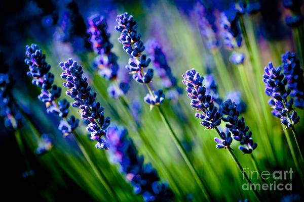Photograph - Lavander Flowers Closeup In Lavender Field by Raimond Klavins