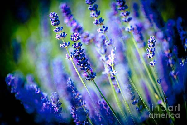 Photograph - Lavander Flowers In Lavender Field Artmif by Raimond Klavins