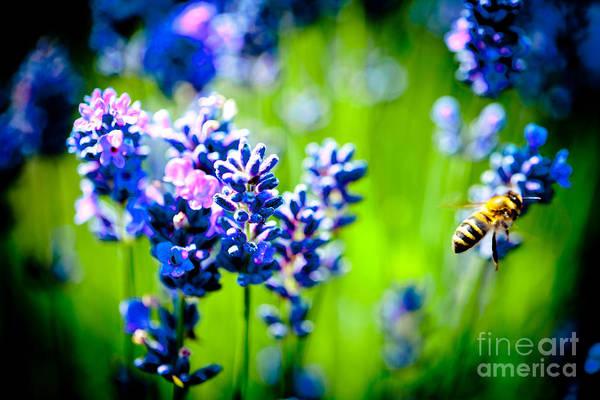 Photograph - Lavander Flowers In Lavender Field Closeup by Raimond Klavins