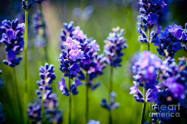 Photograph - Lavander Flowers In Lavender Field by Raimond Klavins