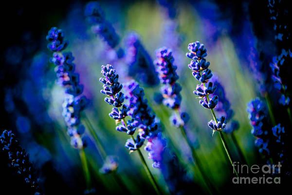 Photograph - Lavander Flowers Macro In Lavender Field Artmif by Raimond Klavins