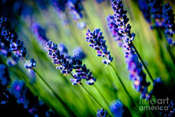 Photograph - Lavander Flowers Macro In Lavender Field by Raimond Klavins