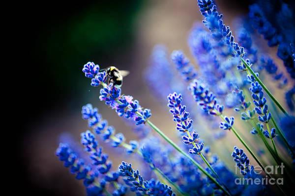 Photograph - Lavander Flowers Macro With Bee In Lavender Field by Raimond Klavins