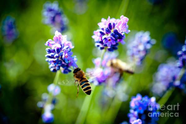 Photograph - Lavander Flowers With Bee In Lavender Field Closeup Artmif by Raimond Klavins