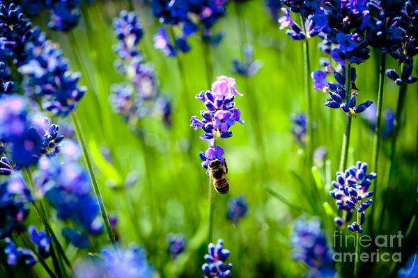 Photograph - Lavander Flowers With Bee In Lavender Field Macro Artmif by Raimond Klavins