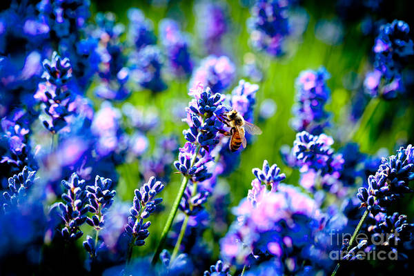 Photograph - Lavander Flowers With Bee In Lavender Field Macro by Raimond Klavins