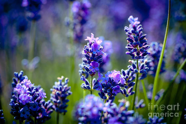 Photograph - Lavander Flowers With Lavender Field Artmif.lv by Raimond Klavins