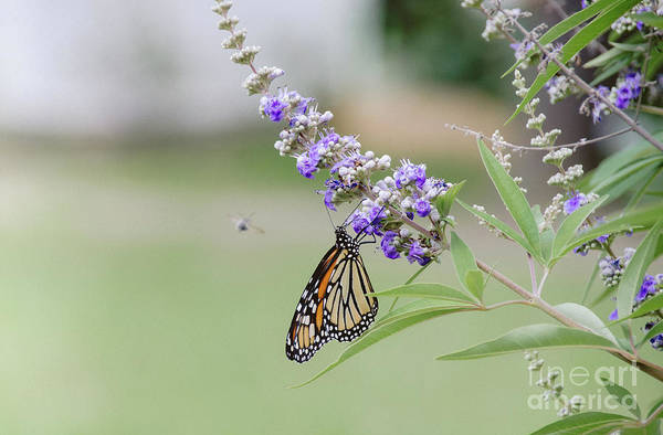 Photograph - Lavender 3 by Andrea Anderegg