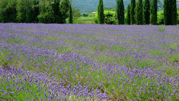 Photograph - Lavender And Cypress by August Timmermans
