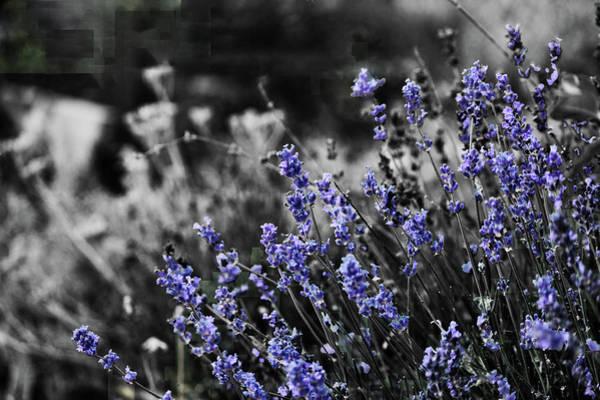 Photograph - Lavender B And W by April Burton