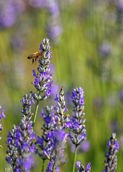 Photograph - Lavender Bee by Rod Best