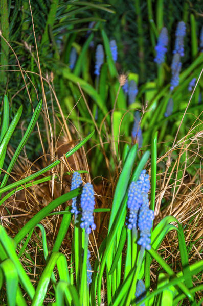 Photograph - Lavender by Bill Cannon