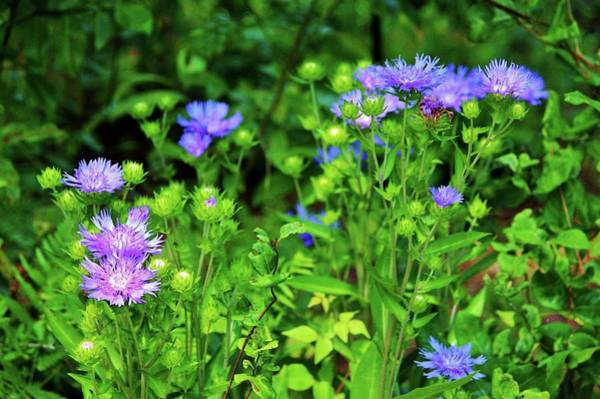 Photograph - Lavender Blue Flowers by Cynthia Guinn