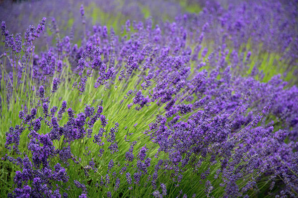 Photograph - Lavender Breeze by Jani Freimann