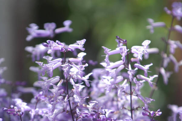 Wall Art - Photograph - Lavender Cloud Of Flowers by Alynne Landers