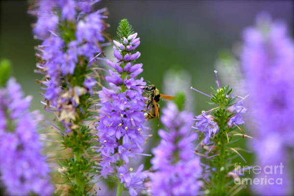 Altamonte Springs Photograph - Lavender Delight by Lauren Medina
