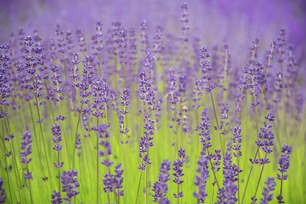 Lavender Fantasy Art Print