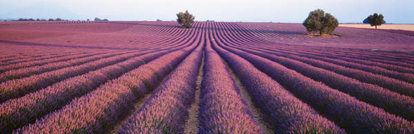 Fragrance Photograph - Lavender Field, Fragrant Flowers by Panoramic Images