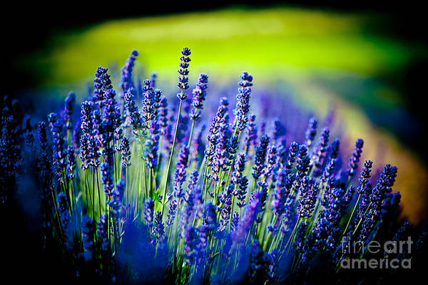 Photograph - Lavender Field In Latvia by Raimond Klavins