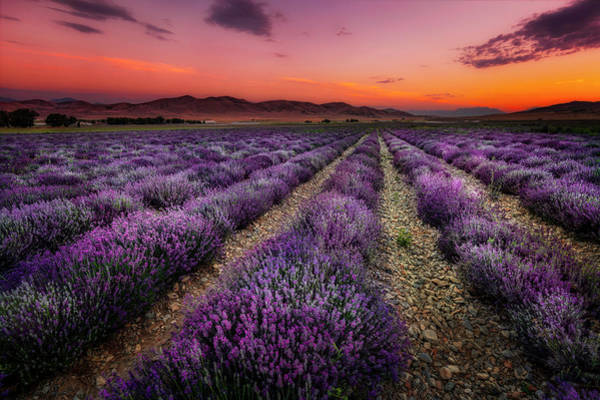 Photograph - Lavender Fields At Sunrise by Michael Ash