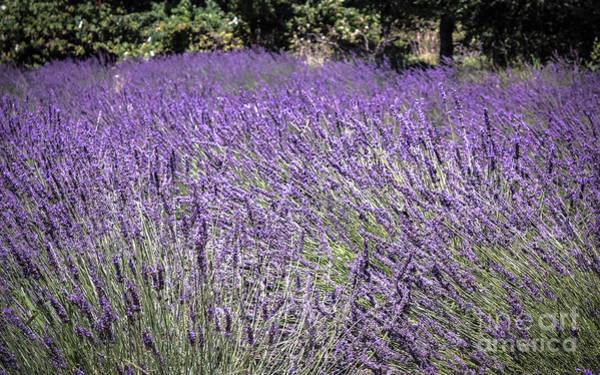 Wall Art - Photograph - Lavender Fields by Colleen Kammerer
