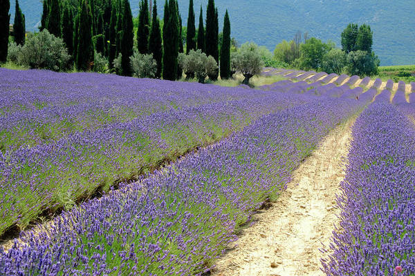 Photograph - Lavender Flow by August Timmermans