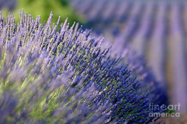 Wall Art - Photograph - Lavender Flowers In A Field by Sami Sarkis