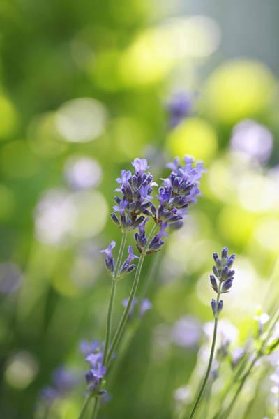 Wall Art - Photograph - Lavender Garden by Frank Tschakert