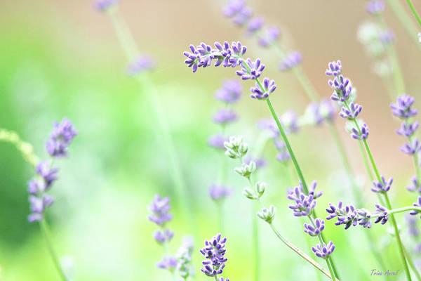 Photograph - Lavender Garden by Trina Ansel