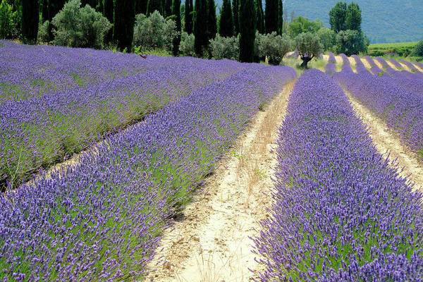 Photograph - Lavender Heaven by August Timmermans