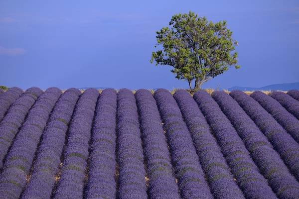 Wall Art - Photograph - Lavender In Bloom by Christian Heeb