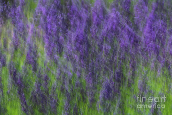 Photograph - Lavender In The Wind by Rachel Cohen