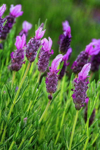 Wall Art - Photograph - Lavender by Kelley King