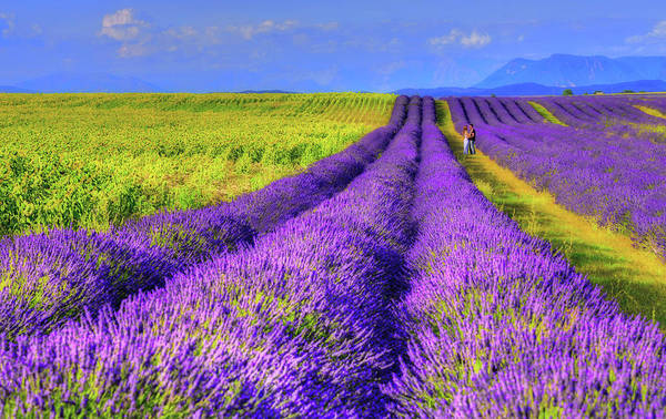 Wall Art - Photograph - Lavender Love by Midori Chan