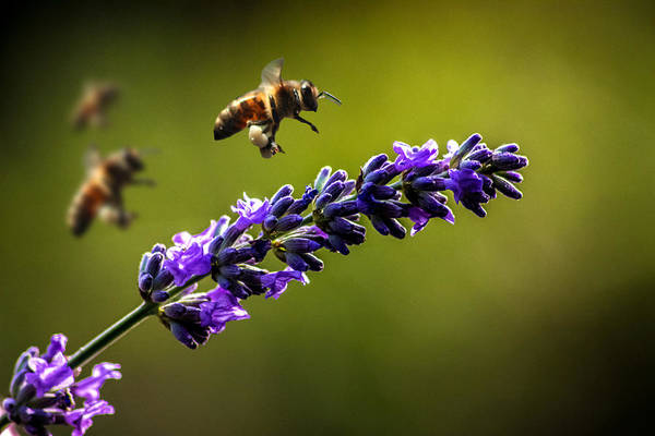 Bee Photograph - Lavender by Martin Newman